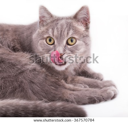 The gray cat lies and licks a nose. It is isolated on a white background - stock photo