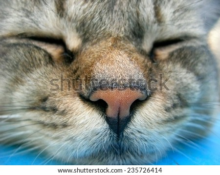 The gray cat sleeps, having put the head on a blue background - stock photo