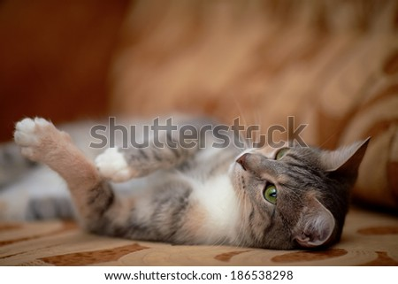 The gray cat with green eyes lies on a sofa.  - stock photo