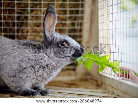 The gray rabbit in a cage eats a leaf of a dandelion. - stock photo