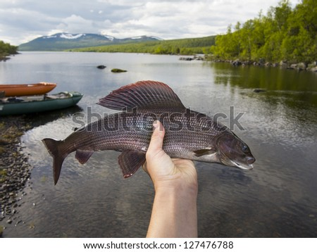 The grayling (Thymallus thymallus) is a species of freshwater fish in the salmon family (family Salmonidae) of order Salmoniformes this is from Sweden 50 cm catch on dry fly - stock photo