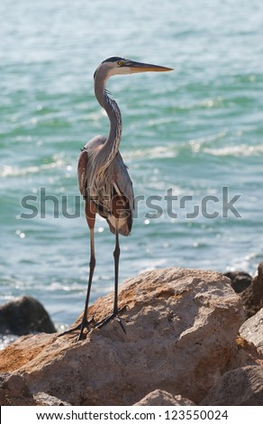 The Great Blue Heron (Ardea herodias), a large wading bird common near the shores of open water and in wetlands. This Heron photographed in Southwest Florida at Nokomis Beach on the Gulf of Mexico. - stock photo
