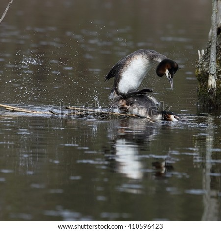 The great crested grebe (Podiceps cristatus) - pair, copulation of birds in the nest.