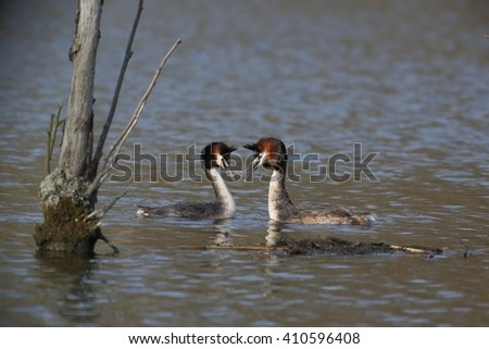 The great crested grebe (Podiceps cristatus) - pair, courtship. - stock photo