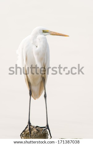 The Great Egret - stock photo
