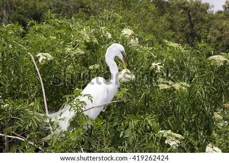 The great egret (Ardea alba), also known as the common egret, large egret or   great white heron - stock photo