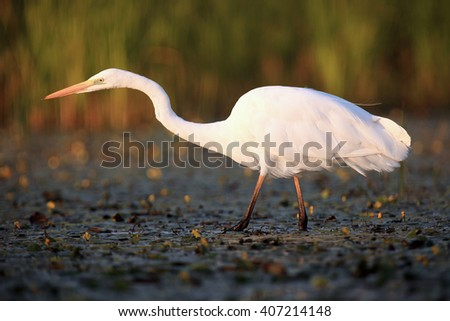 The great egret (Ardea alba), also known as the common egret  or great white heron fishing in the blooming lagoon  - stock photo