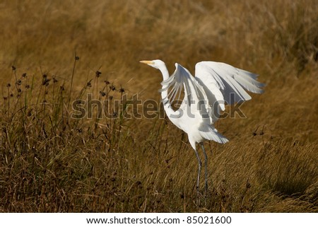 The Great Egret (Ardea alba), also known as the Great White Egret or Common Egret - stock photo