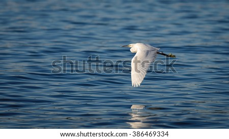 The great egret (Ardea alba) or common egret, large egret or great white heron or great blue heron in japan pond