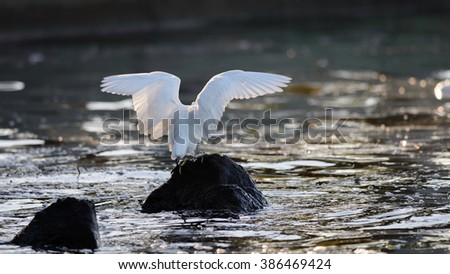 The great egret (Ardea alba) or common egret, large egret or great white heron or great blue heron in japan pond - stock photo