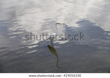 The great egret (Ardea alba) wading in the water with reflections in water Also called the common egret, large egret or great white heron  - stock photo