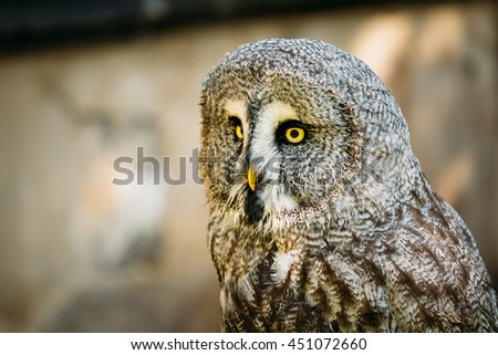 The Great Grey Owl Or Great Gray Owl - Strix Nebulosa Is Very Large Owl. Wild Bird. Close Up Head, Face. - stock photo