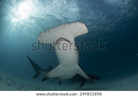 The Great Hammerhead Shark from Bimini, Bahamas - stock photo