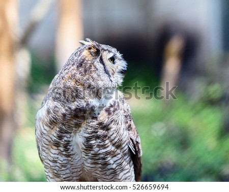 The great horned owl, also known as the tiger  or the hoot , is a large bird native to the Americas. It is an extremely adaptable bird with a vast range and is a common  true one in the Americas