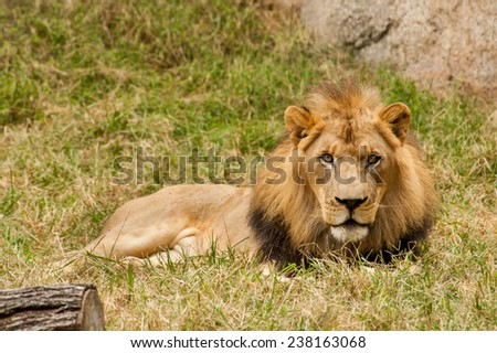 The great King Lion looks patiently as he sits on the grass waiting on his female counterpart to stop by. - stock photo