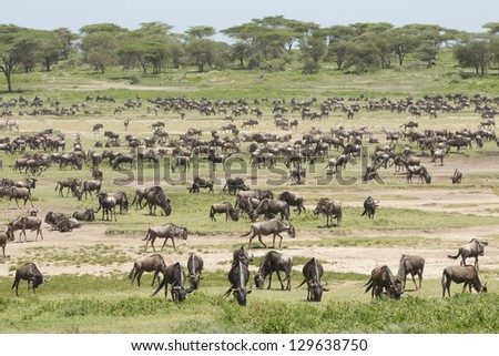 The Great Migration herds arrive in the Ndutu area to give birth to their calves and foals during February and March. - stock photo