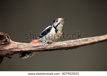 The great spotted woodpecker (Dendrocopos major) sitting on the branch
