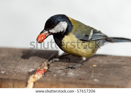 The Great Tit (Parus major) sits on a bird-feeder. - stock photo