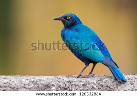 The Greater Blue-eared Starling or Greater Blue-eared Glossy-starling (Lamprotornis chalybaeus) - stock photo