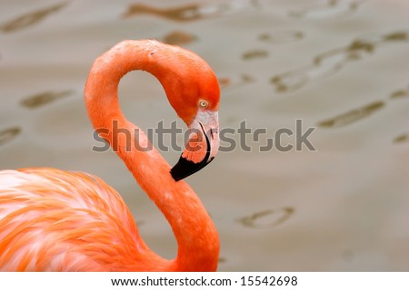The Greater Flamingo (Phoenicopterus roseus) is the most widespread species of the flamingo family. It is found in parts of Africa, southwest Asia, southern Asia and southern Europe