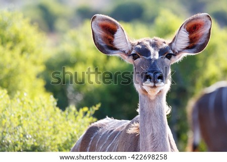 The greater kudu is a woodland antelope found throughout eastern and Southern Africa. They are sparsely populated in most areas, due to a declining habitat, deforestation and poaching.