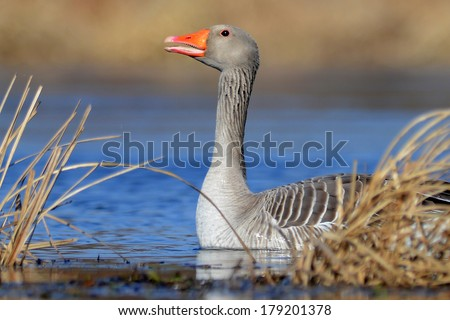 The Greater White-fronted Goose. - stock photo