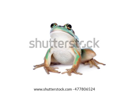 The green and golden bell frog on white