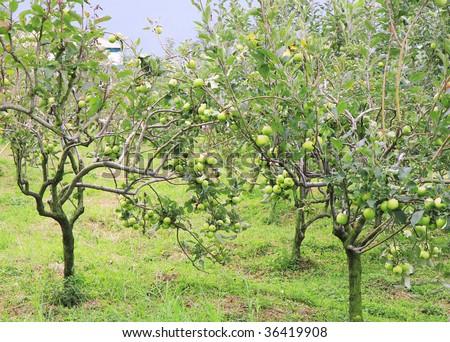 Green Apple Garden Stock Photo (Download Now) 36419908 - Shutterstock