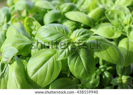 the green basil - Ocimum basilicum - stock photo