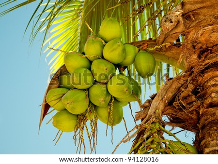 The Green coconut at tree