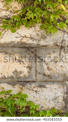 The Green creeper plant on old house wall. Abstract plant wall background - stock photo