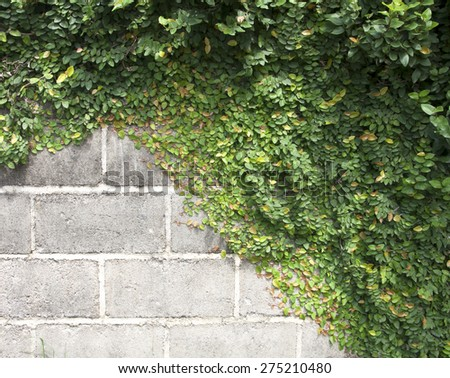 The Green Creeper Plant on the Wall - stock photo