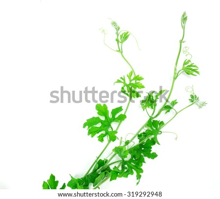 the green creeping plant on white background - stock photo