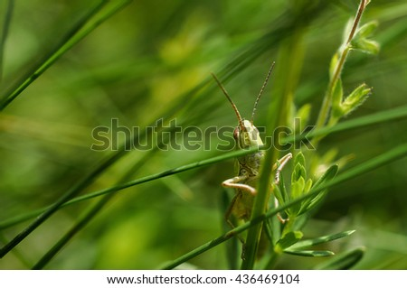 The green grasshopper sits on a grass. The little grasshopper. insect eats a grass. Grasshopper in a garden. - stock photo