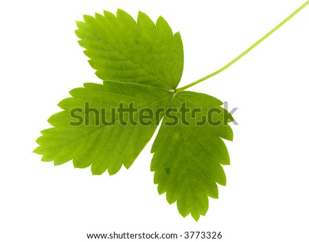 The green leaf of wild strawberry on a white background it is isolated