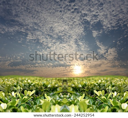 The Green leaves in the garden and sunset. - stock photo