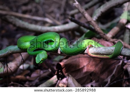 The green pit viper snake in rain forest - stock photo