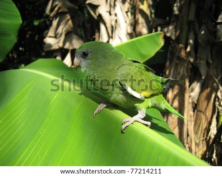 The Green-rumped Parrotlet, Forpus passerinus, is a small parrot. It is a resident breeding bird in tropical South America. - stock photo