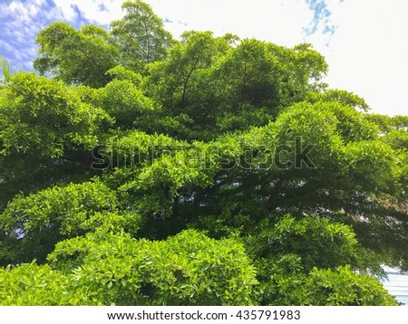 The green tree with blue sky background.The big push green tree is very fresh and blue sky.