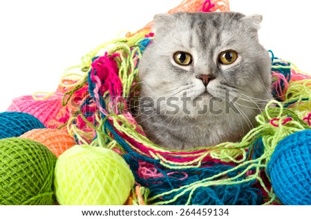 the grey adult cat with  many multi-coloured clew,  close up portrait - stock photo