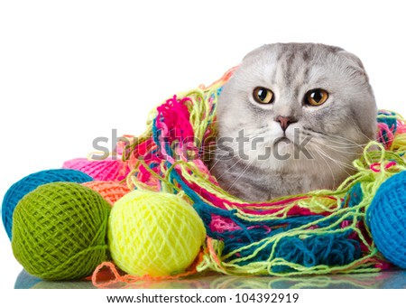 the grey adult cat with  many multi-coloured clew,  on white  background , isolated, stare look on camera