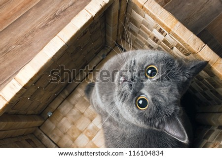 the grey cat British breed with large yellow eyes looks at the camera from the bottom up - stock photo