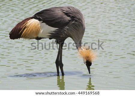 The Grey Crowned Crane bird. - stock photo