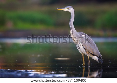 The Grey Heron - stock photo