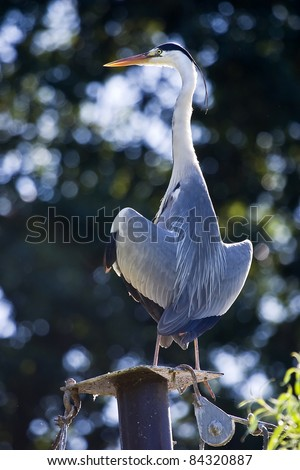 The Grey Heron (Ardea cinerea) drying his feathers in the sunset perched on a pile with tie rods. - stock photo