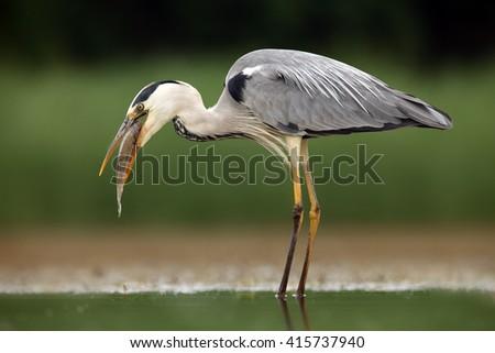 The grey heron (Ardea cinerea) with caught fish - stock photo
