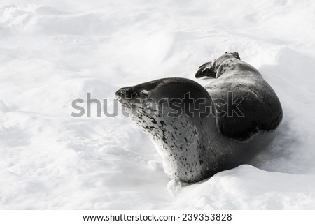 The grey seal has a rest  in Antarctica - stock photo