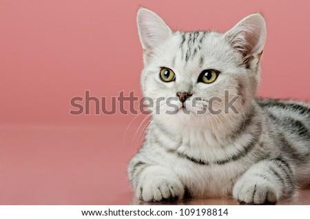 the grey  stripy beautiful little  kitten, on  pink  background , look stare - stock photo