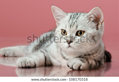 the grey  stripy beautiful little  kitten, sit on  pink  background , look stare
