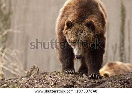 The grizzly bear is a subspecies of brown bear that inhabits western Canada and the northwestern United States. - stock photo